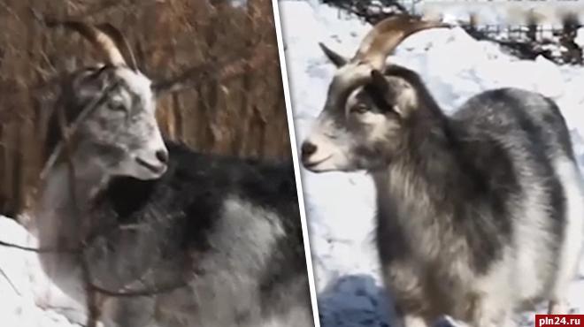 Одна изневест козла Тимура оказалась беременна— Неожиданный поворот