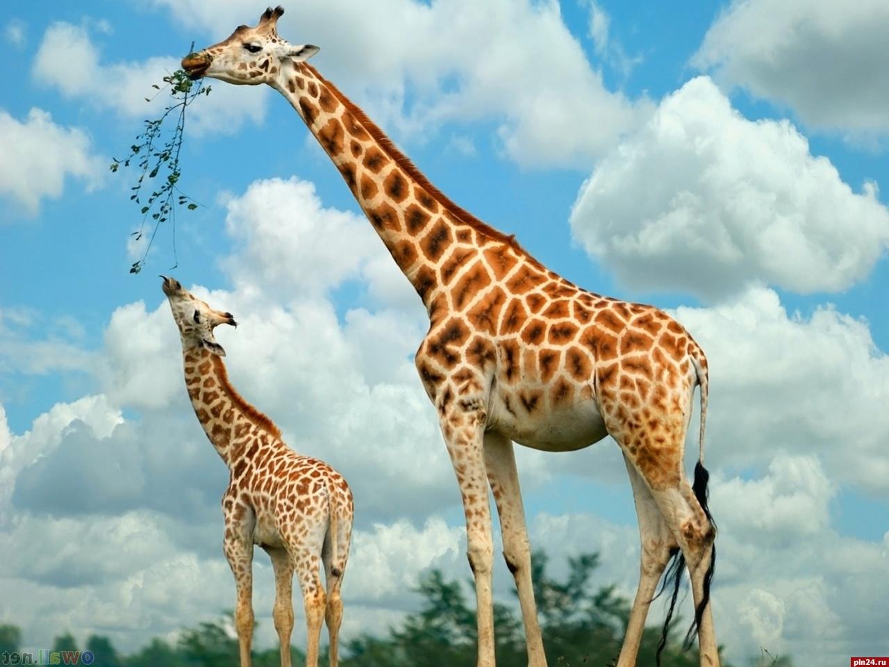 Жирафы могут пропасть доконца века