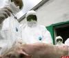 Псковская область осталась последней в СЗФО, куда не проник вирус африканской чумы свиней