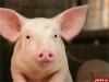 На территории 8 районов Псковской области и в Великих Луках из-за африканской чумы свиней введен карантин