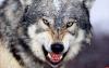 На АЗС в Великолукском районе волк напал на человека