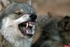 Следов хищников не обнаружено - чиновник ответил пожаловавшемуся на нападения волков жителю Опочецкого района