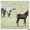 В Кении родилась зебра с окрасом «в горошек»
