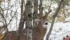 Фотограф заснял редчайшего трехрогого оленя