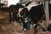 Я смогу вырастить не 100, а 300 быков в год - фермеры Палкинского района заинтересовались предложением компании «АЛОК»