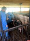 От африканской чумы умирают свиньи в Порховском и Куньинском районах