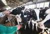 Петербургский инвестор отказался строить крупную молочную ферму в Псковской области