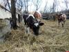В деревне под Псковом откроют приют для коров и быков