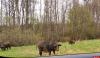 В Псковской области необходимо активизировать охоту на кабана – губернатор